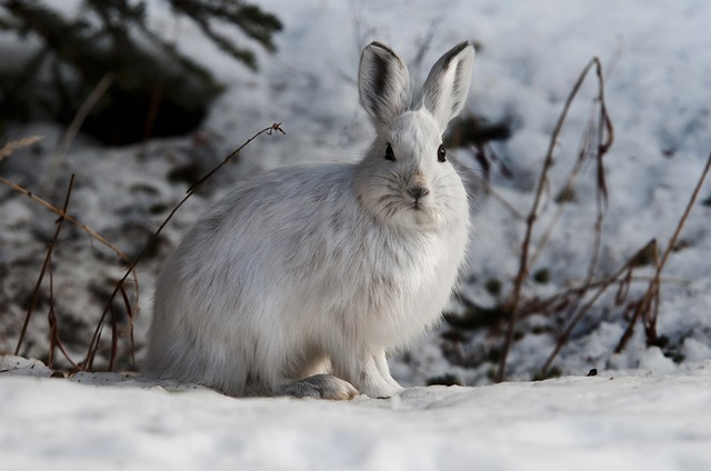 snowshoe-hare